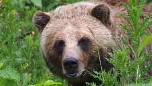 Wat als je een beer tegenkomt in Canada?