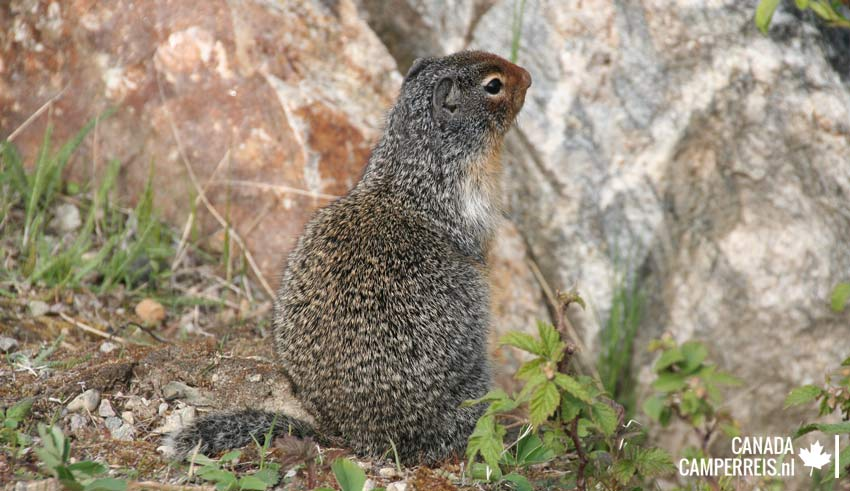 Columbian Ground squirrel Canada