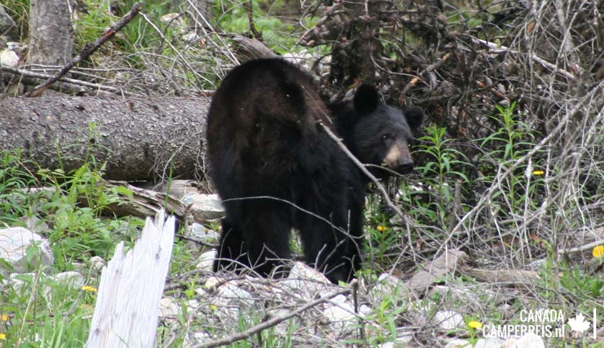 Zwarte beer op weg naar Valmount
