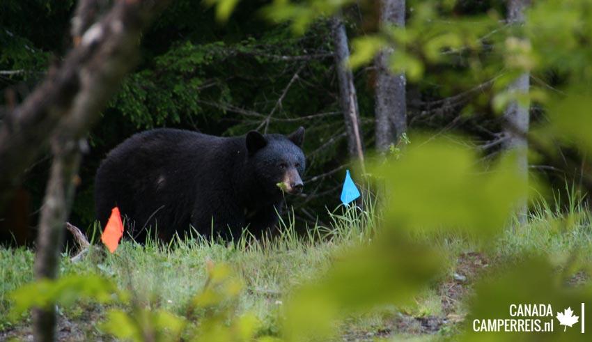 Alpha bear Blackcomb Mountain Whistler