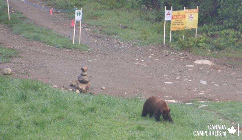 Bear browny in Whistler
