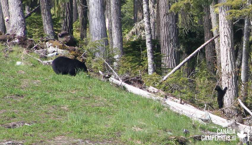 Bear mother met cub in Whistler