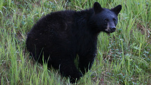 Bear tour Whistler
