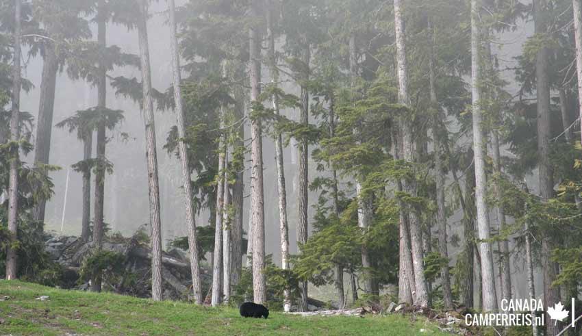 Black bear in Whistler