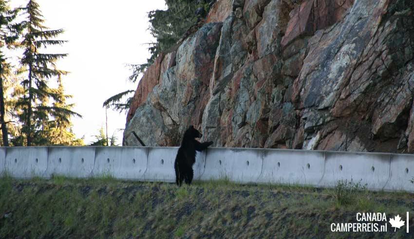 Kleine zwarte beer Whistler