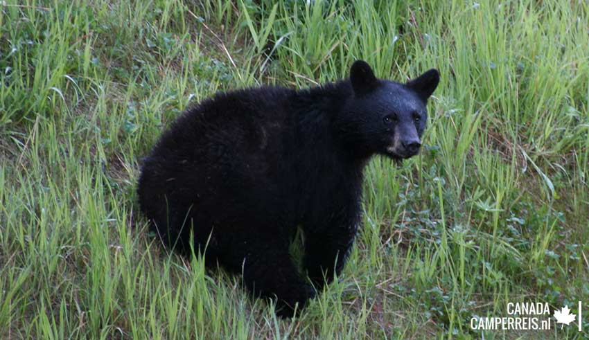 Kleine zwarte beer in Whistler